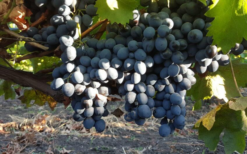 Land with a fruitful vineyard