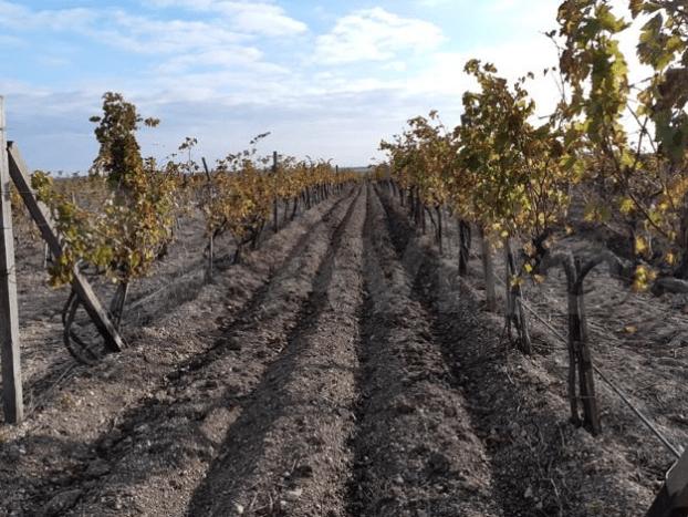 Vineyard on the Crimean Peninsula
